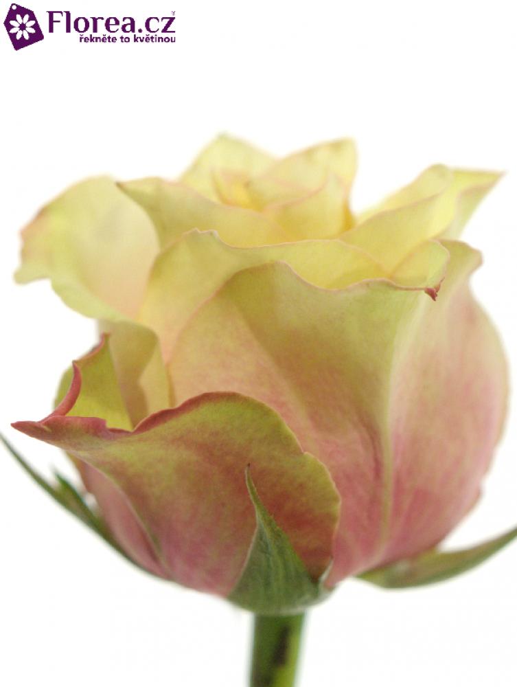 Růžová růže SECRET LOVE 60cm (L)