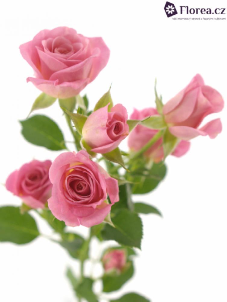 Růžová růže NATHALIE 70cm/5+