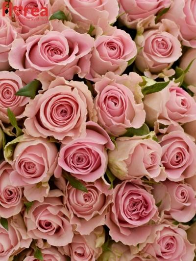 100 růžových růží BABYFACE 50cm