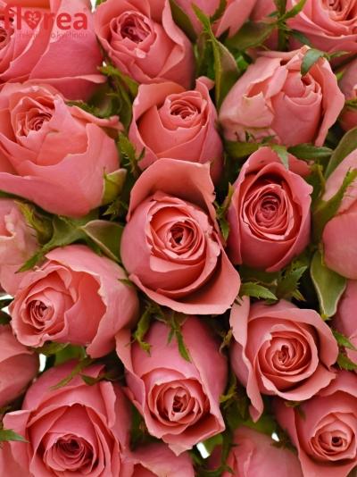 35 růží ACE PINK+