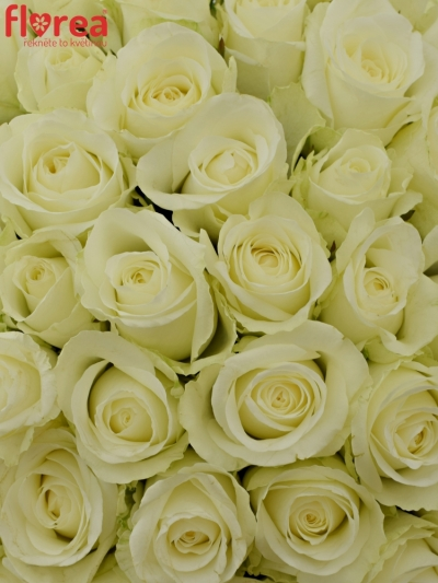 55 růží COUNTDOWN! 50cm