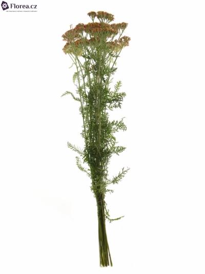 ACHILEA PAPRIKA 50cm