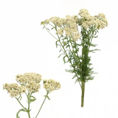 ACHILEA WHITE BEAUTY 70cm