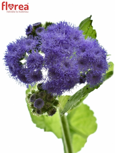 AGERATUM HOUSTONIANUM BLUE PLANET 70cm