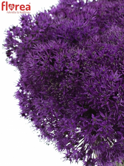 ALLIUM PURPLE SENSATION 90cm