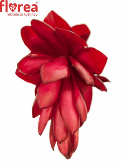 ALPINIA RED