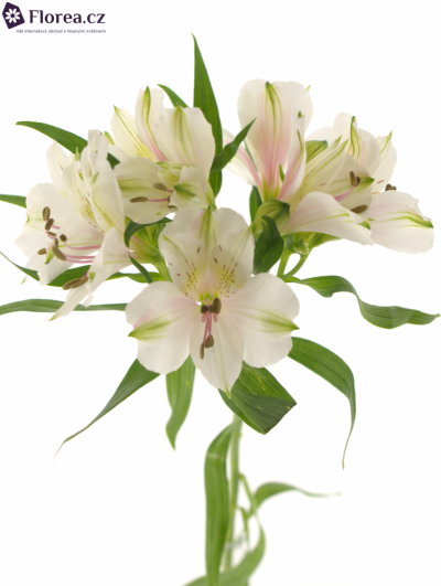 ALSTROEMERIA HOUSTON 80g