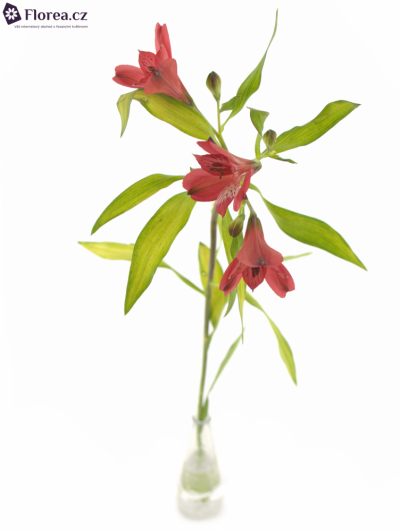 ALSTROEMERIA LOVELY 60g