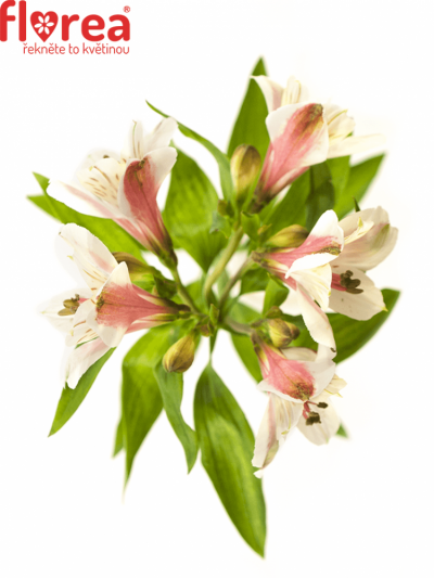 ALSTROEMERIA MAGIC