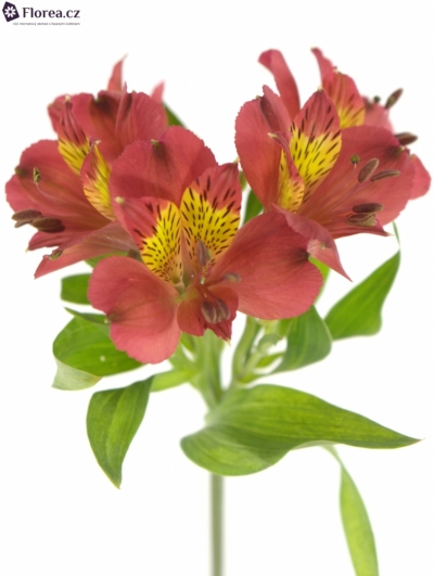 ALSTROEMERIA RUBY RED 60g