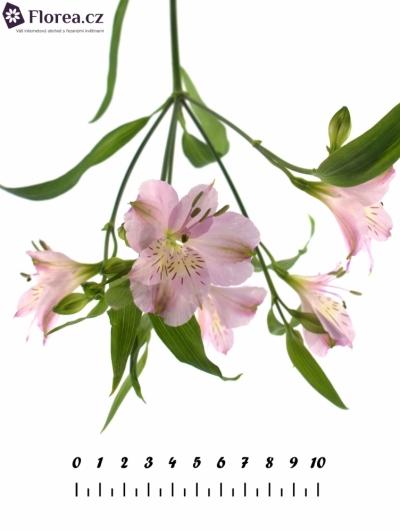 ALSTROMERIA PHOENIX 70g