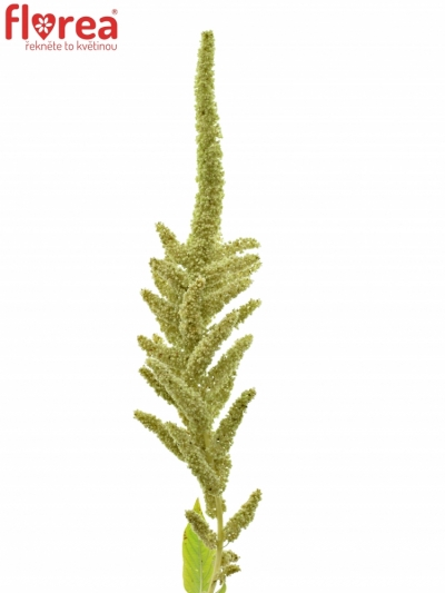AMARANTHUS CAUDATUS VIRIDIS 80cm