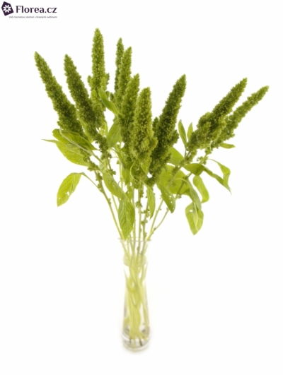 AMARANTHUS GREEN 55cm