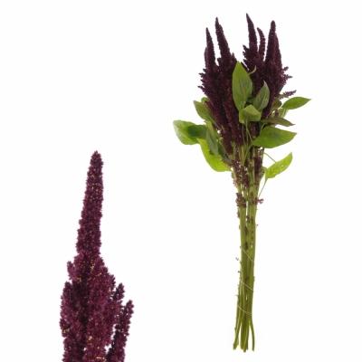 Amaranthus ROOT
