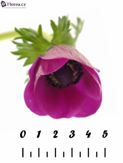 Anemone CORONARIA GALIL PURPER