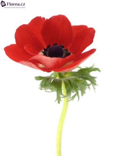 ANEMONE CORONARIA GALIL RED 30cm