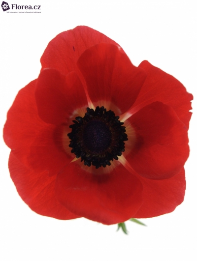 ANEMONE CORONARIA GALIL RED 40cm