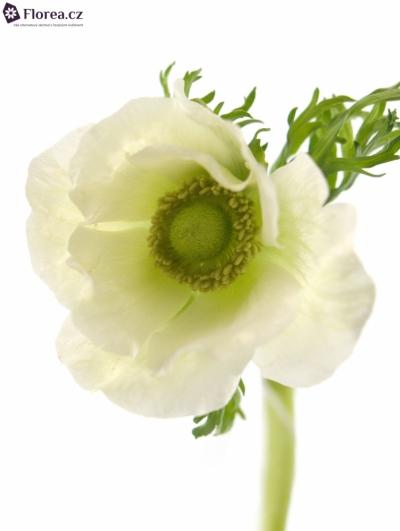ANEMONE CORONARIA GALIL WHITE