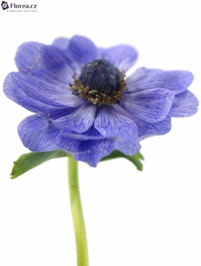 ANEMONE CORONARIA MARIANNE BLUE 35cm