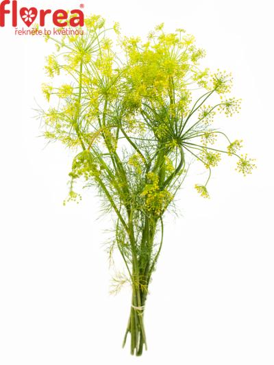 Anethum GRAVEOLENS 65cm