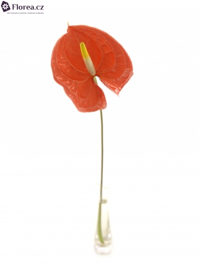 ANTHURIUM A CASINO x20box Ø9cm