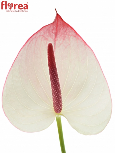 ANTHURIUM A LAMOUR x12box Ø13cm