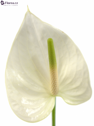 ANTHURIUM WHITE KING IMPROVE x15box Ø7cm