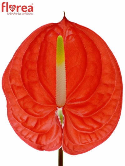 ANTHURIUM A TROPICAL x10box Ø15cm