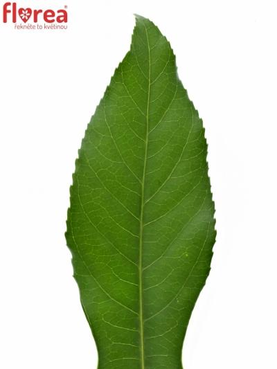 ARALIA 50cm