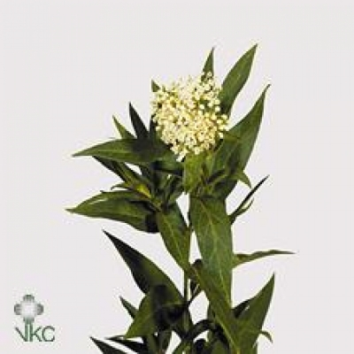 ASCLEPIAS INCARNATA MOBY DICK
