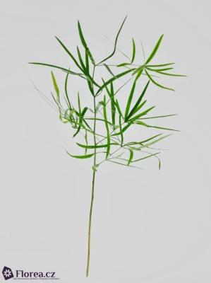 ASPARAGUS FALCATUS 60cm