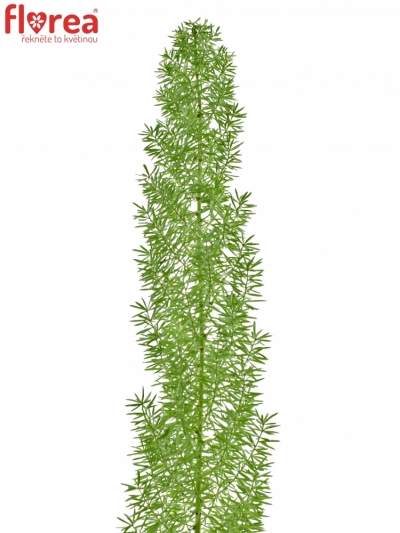 ASPARAGUS MEYERI 50cm