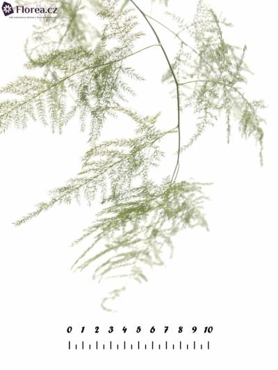 ASPARAGUS PLUMOSUS  40cm