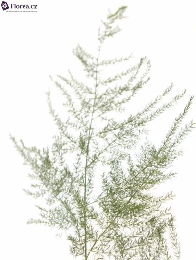 ASPARAGUS PLUMOSUS 45cm