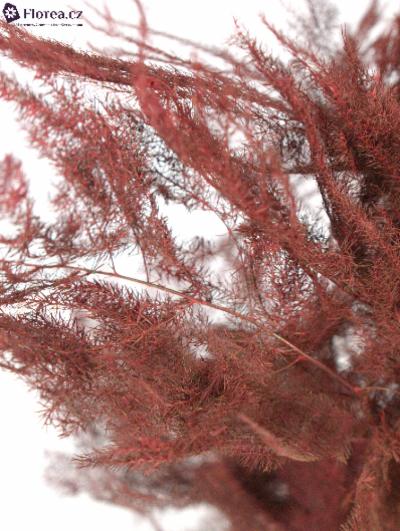 ASPARAGUS PLUMOSUS RED 40cm