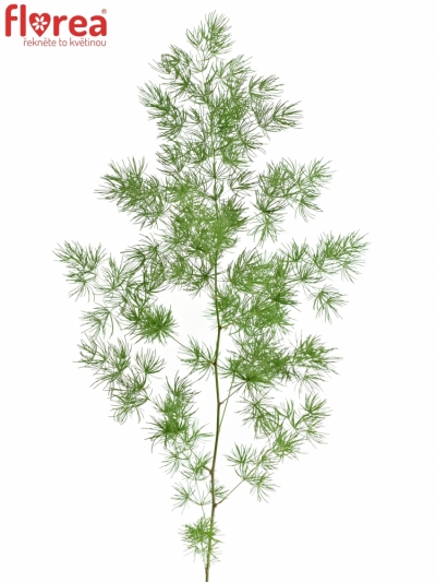 ASPARAGUS UMBELLATUS 50cm