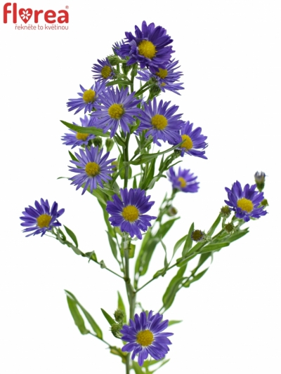 Aster BLUE MONARCH 70cm