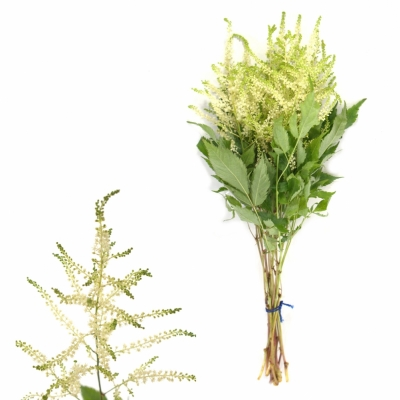ASTILBE WASHINGTON 55cm