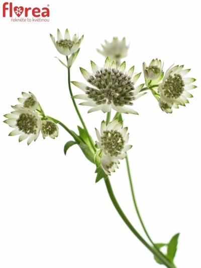 ASTRANTIA BILLION STARS 40cm