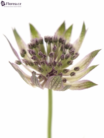 ASTRANTIA STAR OF AFRICA 70cm