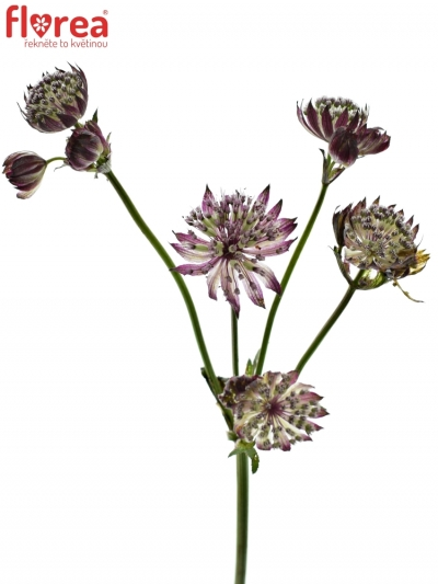ASTRANTIA STAR OF BEAUTY 60cm