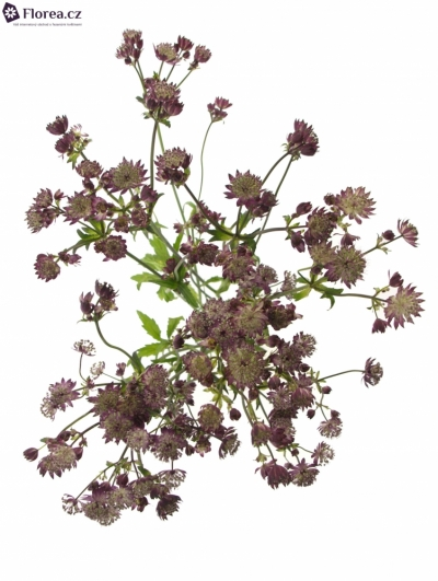 ASTRANTIA STAR OF LOVE 50cm