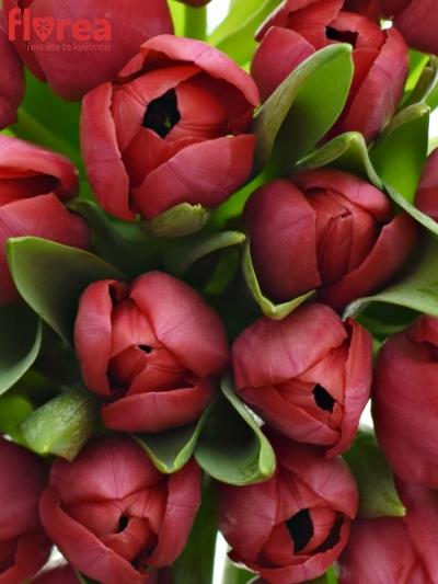 Benefice Amelie Kytice 25 tulipánů ILE DE FRANCE