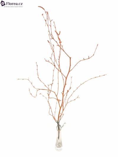 BETULA ALBA ORANGE 70cm