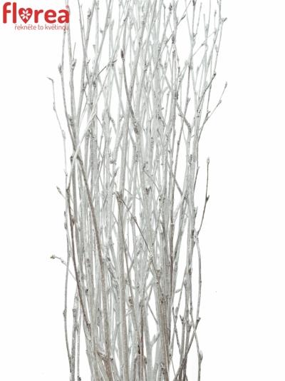 BETULA ALBA SILVER 60cm