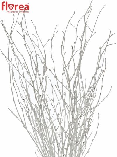BETULA ALBA WHITE 60cm