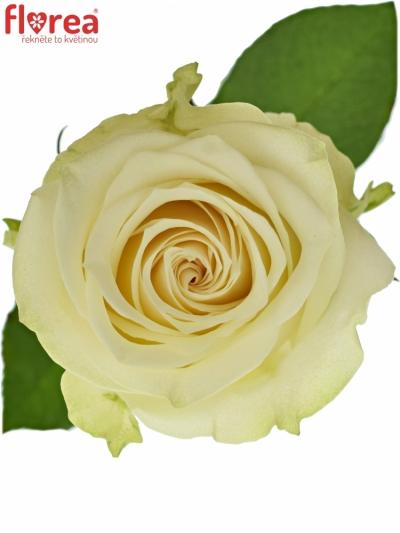 ROSA ADALONIA 80cm (L)