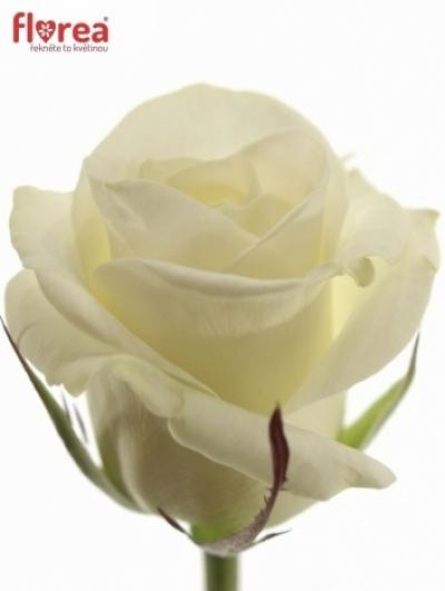 Bílá růže AKITO 70cm
