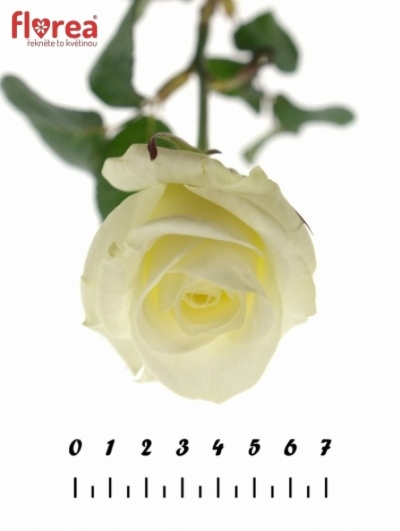 Bílá růže AKITO 70cm (XL)
