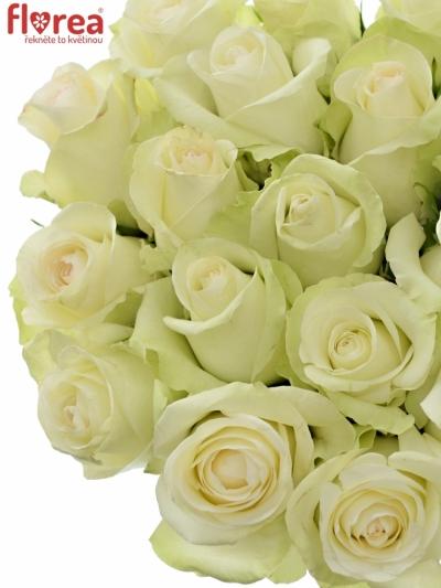Bílá růže ALBA 70cm